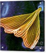 Moth Scale, Sem Acrylic Print