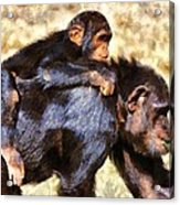 Mother Chimpanzee With Baby On Her Back Acrylic Print