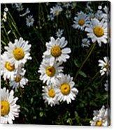 Mountain Daisies Acrylic Print