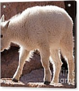 Mountain Goat Kid On Mount Evans Acrylic Print