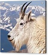 Mountain Goat Portrait On Mount Evans Acrylic Print