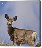 Mule Deer   #0722 Acrylic Print