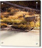 Mule Deer   #3942 Acrylic Print