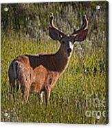 Mule Deer Buck In Velvet   #2164 Acrylic Print