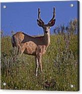 Mule Deer Buck In Velvet   #2231 Acrylic Print