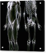 Muscles And Bones Acrylic Print