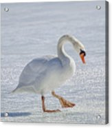 Mute Swan On St Clair River Acrylic Print