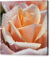 My Birthday Rose 1 Acrylic Print
