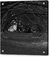 Mystical Yew Trees 1 Acrylic Print