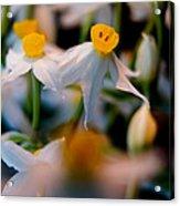 Narcissus Tazetta Acrylic Print