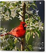 Red Cardinal In Flowers Acrylic Print