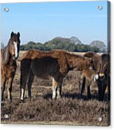 New Forest Ponies Acrylic Print