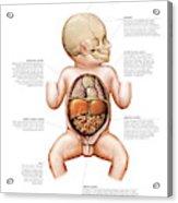 Newborn Internal Organs Acrylic Print