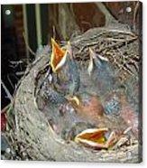 Newborn Robins Acrylic Print
