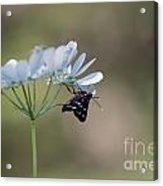 Nine-spotted Moth Acrylic Print