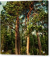 Northern Forest  Acrylic Print