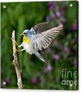 Northern Parula Warbler Acrylic Print