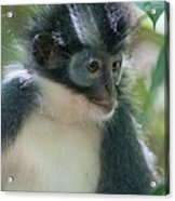 Northern Sumatran Leaf Monkey Acrylic Print