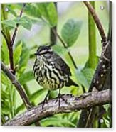 Northern Water Thrush Acrylic Print