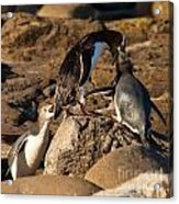 Nz Yellow-eyed Penguins Or Hoiho Feeding The Young Acrylic Print