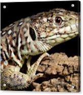 Ocellated Lizard Timon Lepidus Acrylic Print