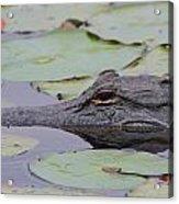 Okefenokee Gator Acrylic Print