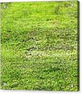Old Green Grass Acrylic Print