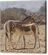 Onager Equus Hemionus 1 Acrylic Print