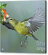 Orange-crowned Warbler Acrylic Print