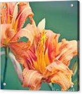 Orange Double Daylily Acrylic Print