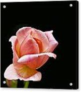 Orange Rose Bud Acrylic Print