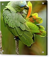Orange-winged Parrot Amazona Amazonica Acrylic Print