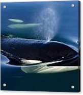 Orca Whale Surfaces In Lynn Canal Acrylic Print