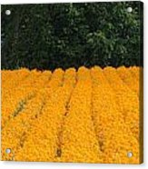 Oregon Orange Field Panoramic Acrylic Print