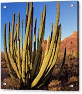 Organ Pipe Cactus Natl Monument Acrylic Print