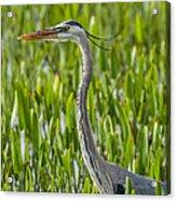 Orlando Wetlands Great Blue Heron Acrylic Print