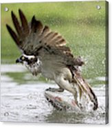 Osprey With A Living Fish, Fischadler Acrylic Print