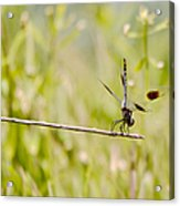 Out On A Twig Acrylic Print