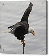 Pacific Northwest Eagle II Acrylic Print
