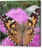 Painted Lady Butterfly Up Close Acrylic Print