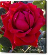 Painting Of A Rose Acrylic Print