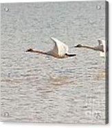 Pair Of Flying Trumpeter Swans Cygnus Buccinator Acrylic Print