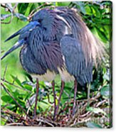 Pair Of Tricolored Heron At Nest Acrylic Print