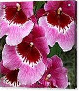 Pansy Orchid 1 Acrylic Print
