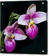 Paphiopedilum Hybrid  Acrylic Print