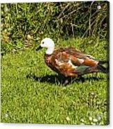 Female Paradise Duck Acrylic Print