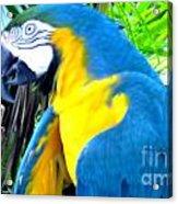 Blue Yellow Macaw. Parrot. Photo Of Bird Acrylic Print
