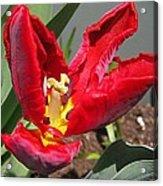 Parrot Tulip Named Rococo Acrylic Print