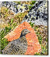 Partridge 2 Acrylic Print