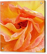 Peach Rose Acrylic Print